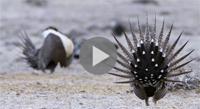 watch video explaining sage-grouse lekking