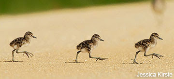 Can you ID these shorebird chicks?