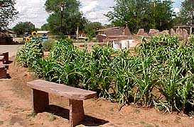 A:Shiwi A:wan Museum and Heritage Center Waffle Garden corn is flourishing!