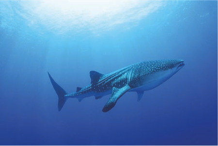 Whale Shark Image courtesy of Cabo Adventures