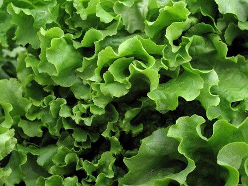 Lettuce_MSP