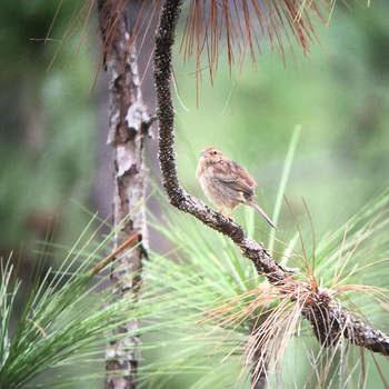 Bachman's Sparrow. Andy Wraithmell