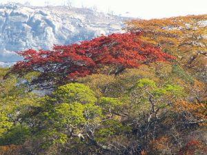 msasa trees nyanga