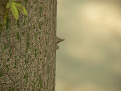 Thorn on Ceiba