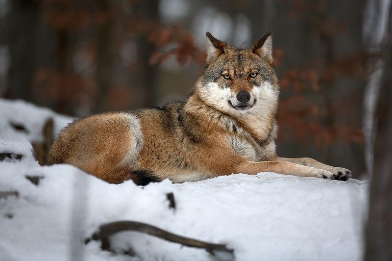 File:Canis lupus 1 (Martin Mecnarowski).jpg
