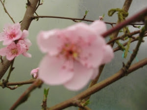 Pale pink unpollinated peach flower