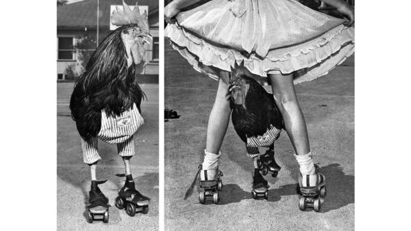 A rooster in roller skates