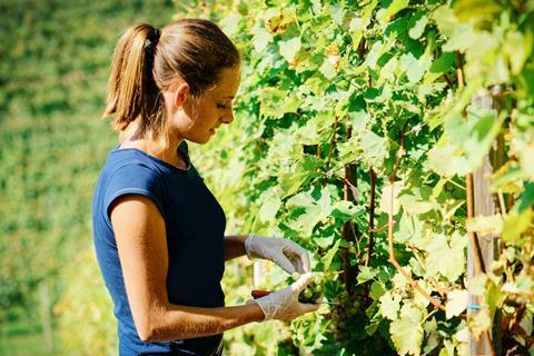 A woman picks grapes at a vineyard
