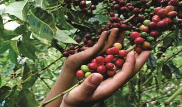 Caen producción y exportaciones de café por desorden climático y contracción de embarques