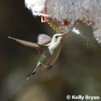 Female Broad-billed Hummingbird collects nest material.
