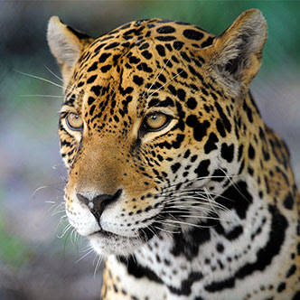 JAGUAR CONSERVATION ON THE CONTINENTAL SCALE