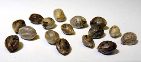 Feminized cannabis seeds