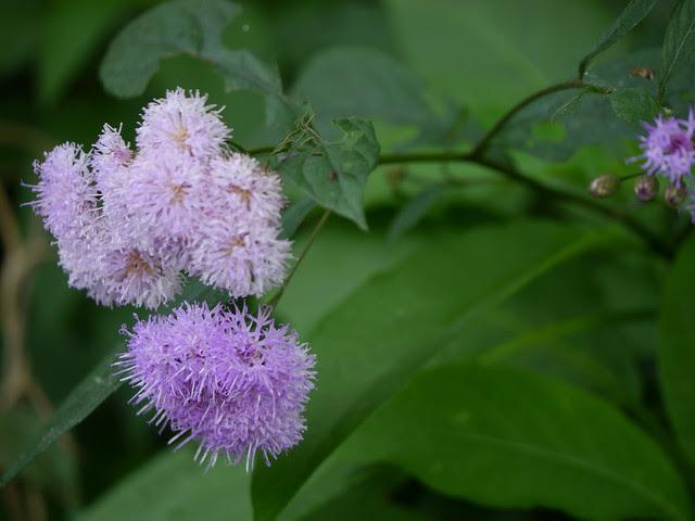 ¿ Vernonia species ?
