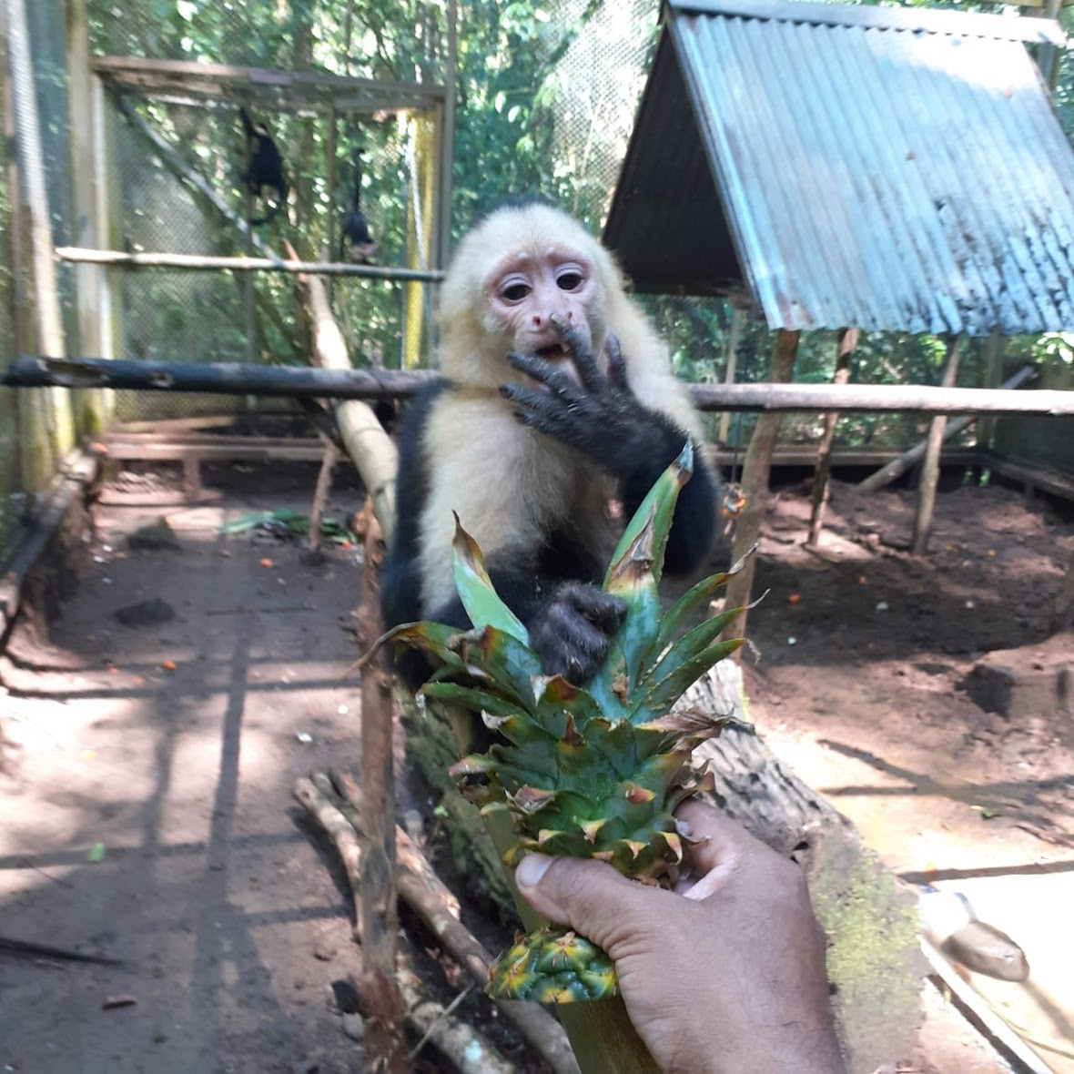 Capuchin holds pineapple head and licks fingers