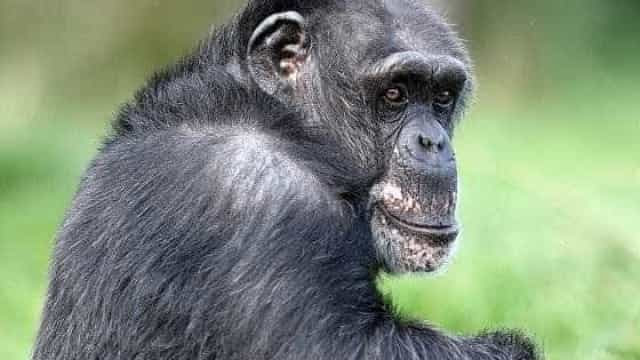 Após ataque, dona de Chimpanzé liga para a polícia e manda abatê-lo