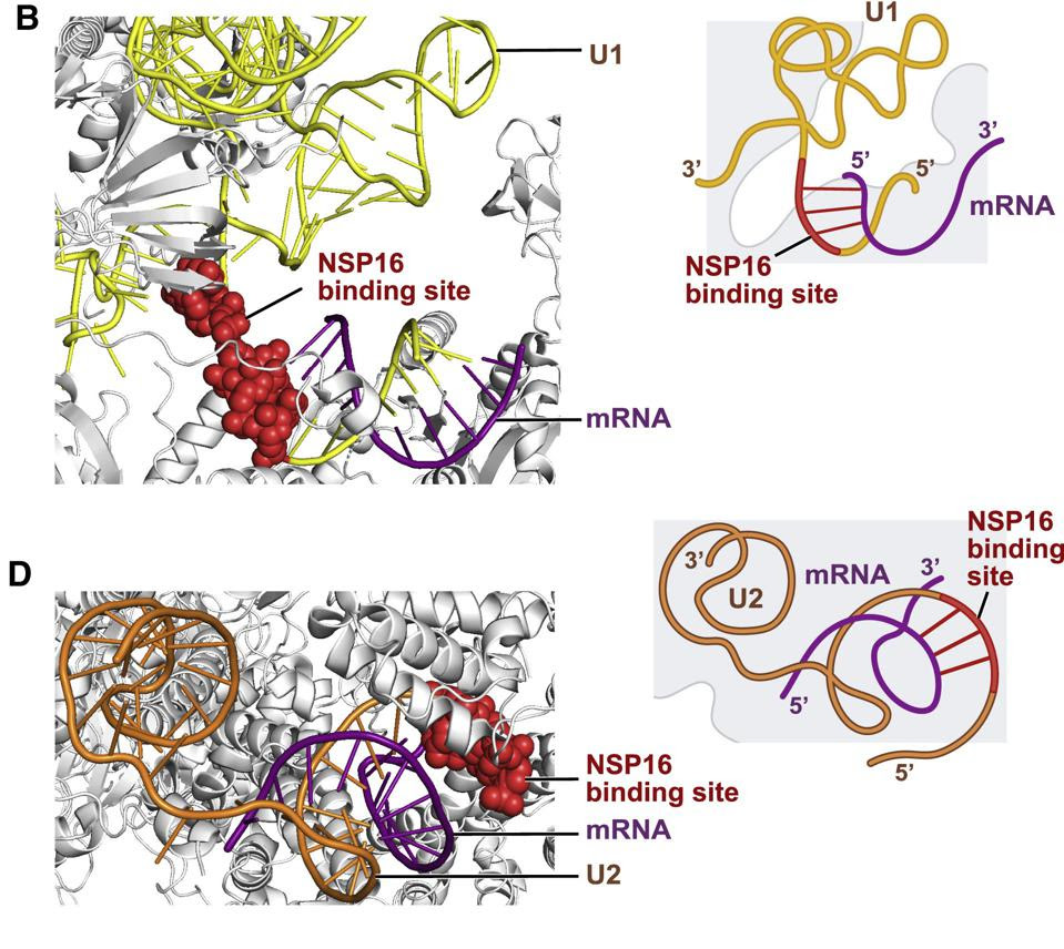 NSP16 Binds to U1 and U2 at Their mRNA Recognition Sites