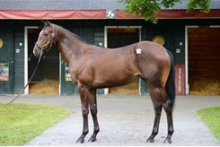 Blackstone Farm-bred multiple graded stakes winner Tom's Ready as a yearling at Taylor Made Farm