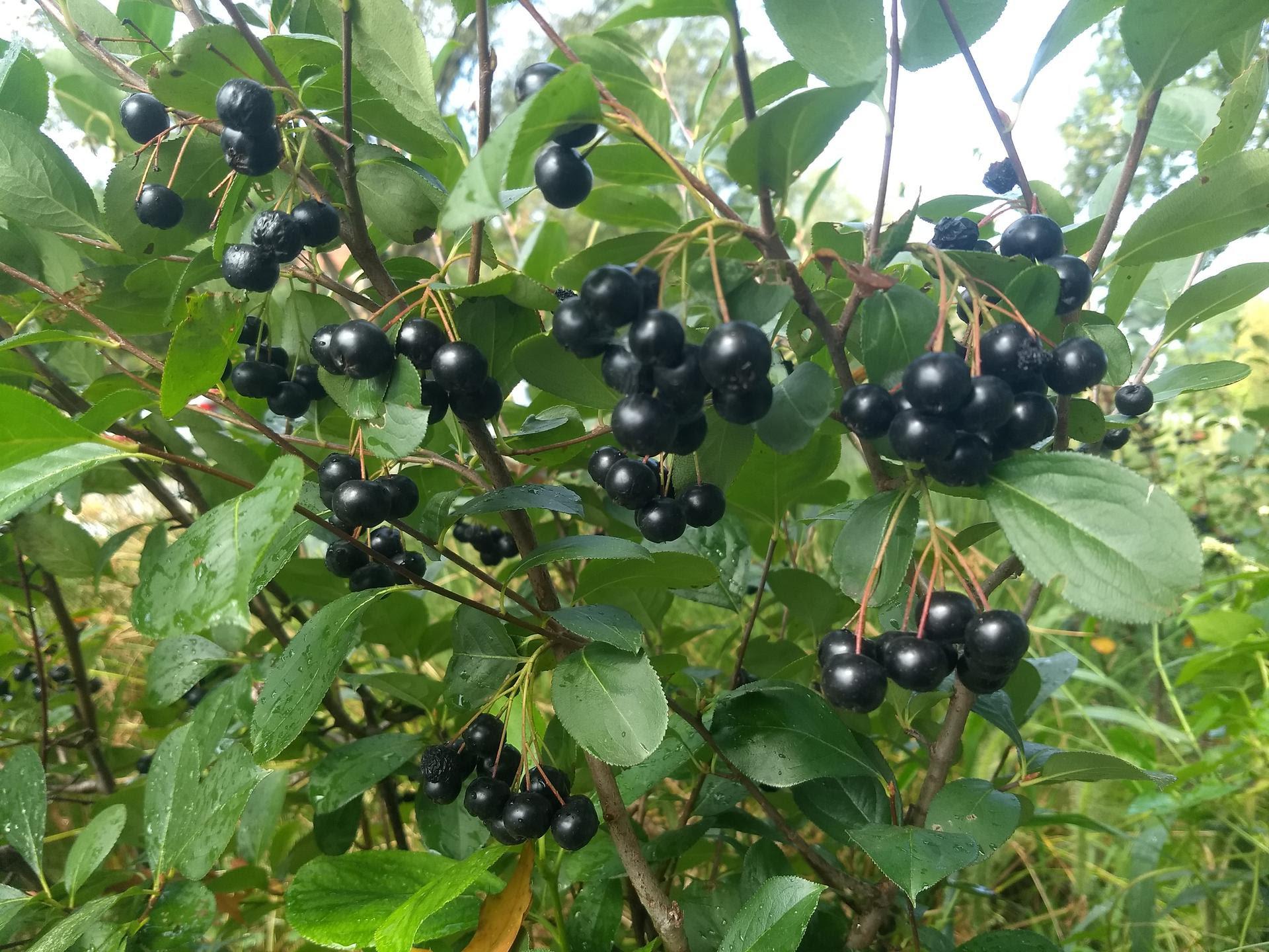 Dark purple chokeberries on a productive shrub