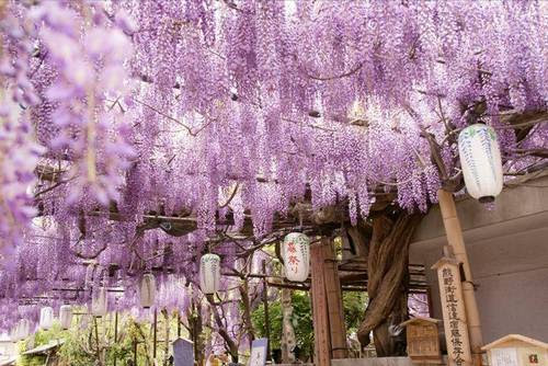 Glicínias em Ashikaga Flower Park