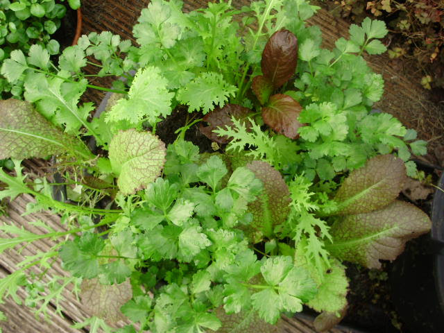 Salad mix Colour & Spice from Mr Fothergill's planted with red stemmed cutting leaf celery