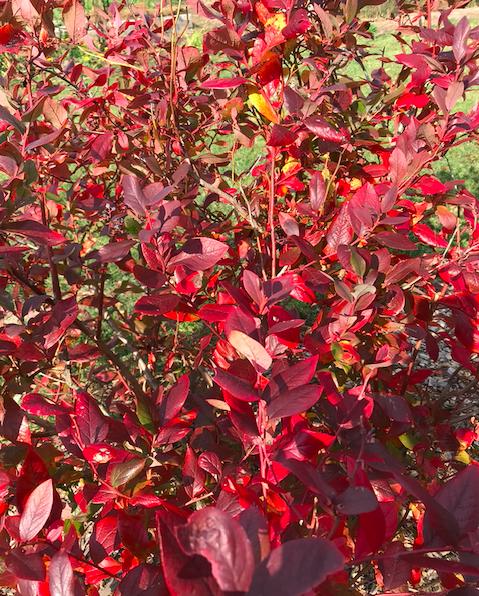 Blueberry fall foliage