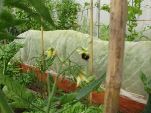 Bumble bee pollinating beefsteak tomato, with carrots under fleece behind