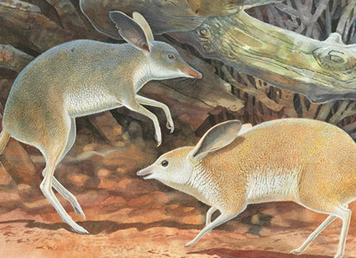 Illustration of extinct pig-footed bandicoot