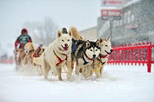 Dog-sledding in Maine