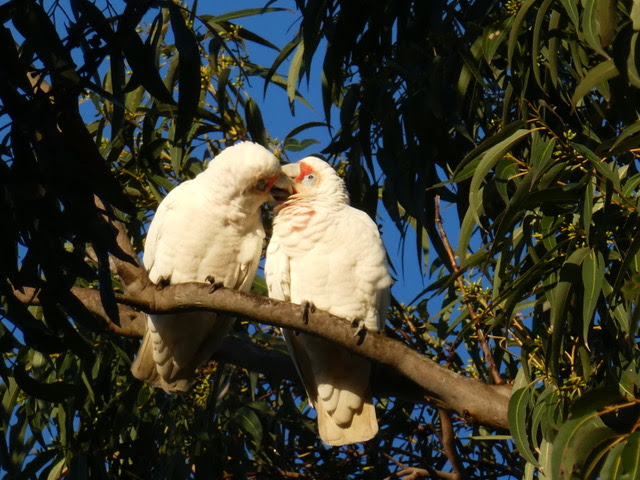Long billed Corellas.jpeg