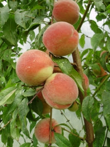 late peaches - variety unknown