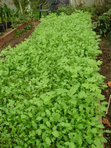 A thick carpet of green manure mustard 'Caliente'