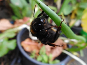 It's so worth having a polytunnel just to be able to grow winter flowers for creatures like this beautiful bee!
