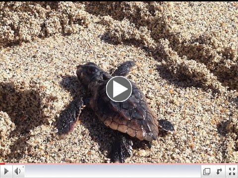Miami Beach Green Matters - Loggerhead Sea Turtle Conservation Program