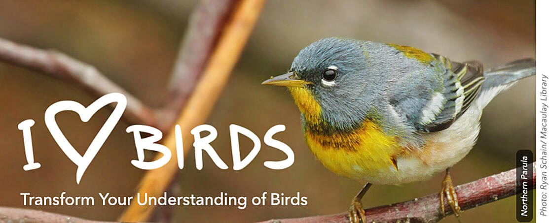 i heart birds email banner-northern parula