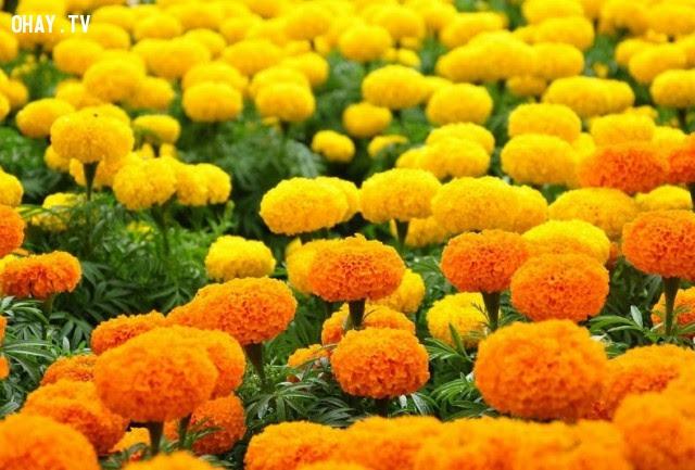 Hoa Cúc vạn thọ (Marigold) : Sự đau buồn – nổi thất vọng,ngôn ngữ các loài hoa,hoa đẹp,hoa ngữ