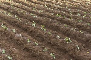 一面に植えられたツル苗、根付くと一気に成長を始めるという