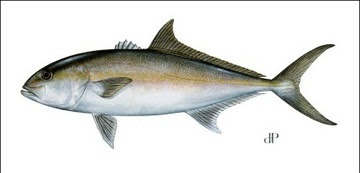 Greater Amberjack illustration