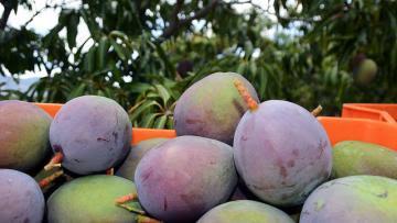 """Festival de la Cosecha del Mango de República Dominicana trascurre con """"Brillante Éxito"""""""