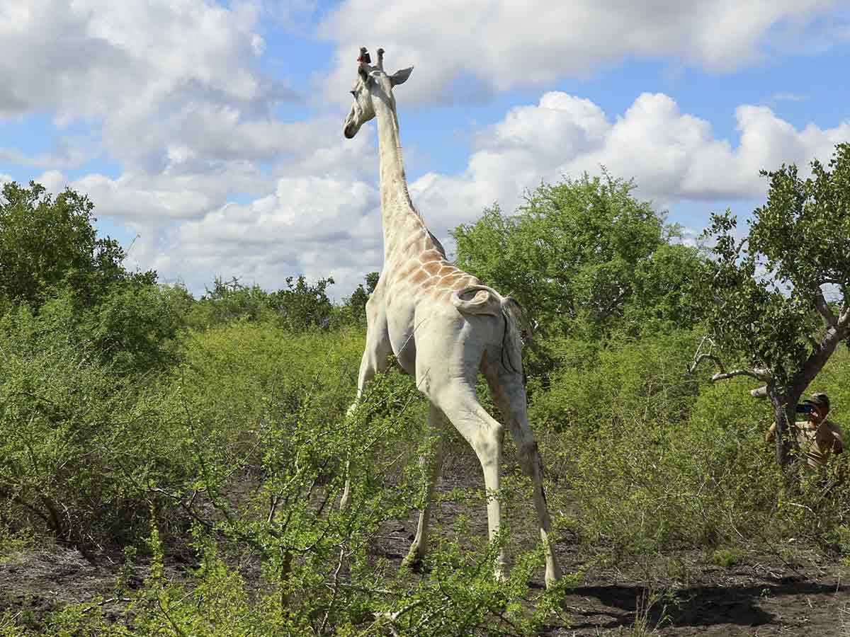 Ponen rastreador GPS a última jirafa blanca del mundo