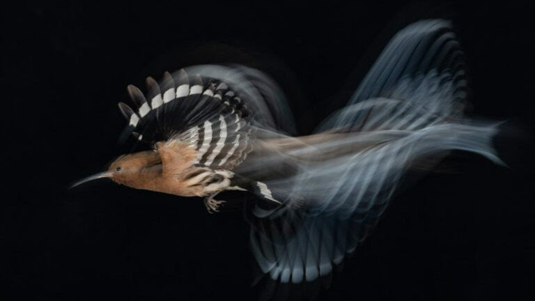 A hoopoe flaps its way through the night sky all the way to the top spot in an international photography contest. (Gadi Shmila/Bird Photographer of the Year)