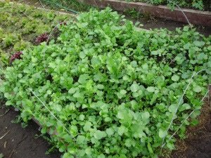 Watercress - Aqua, sown early Sept, harvesting since late Oct. - 8th Nov