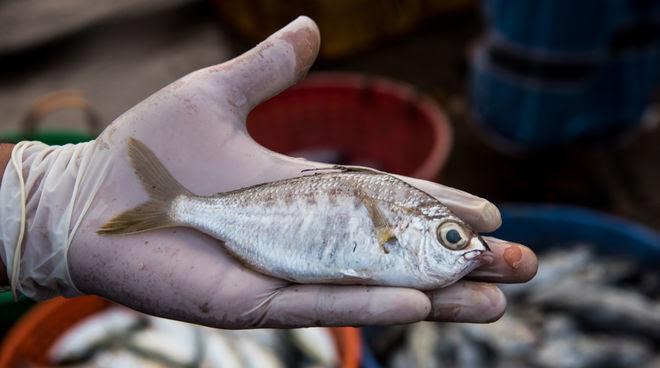 El pez whipfin silver-biddy (Gerres filamentosus)
