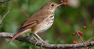 Do you know the name of this bark-brown songster?