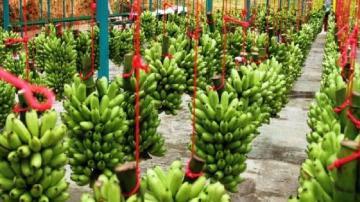 Producción de banano de Latinoamérica alcanzaría 36 millones de toneladas para 2030