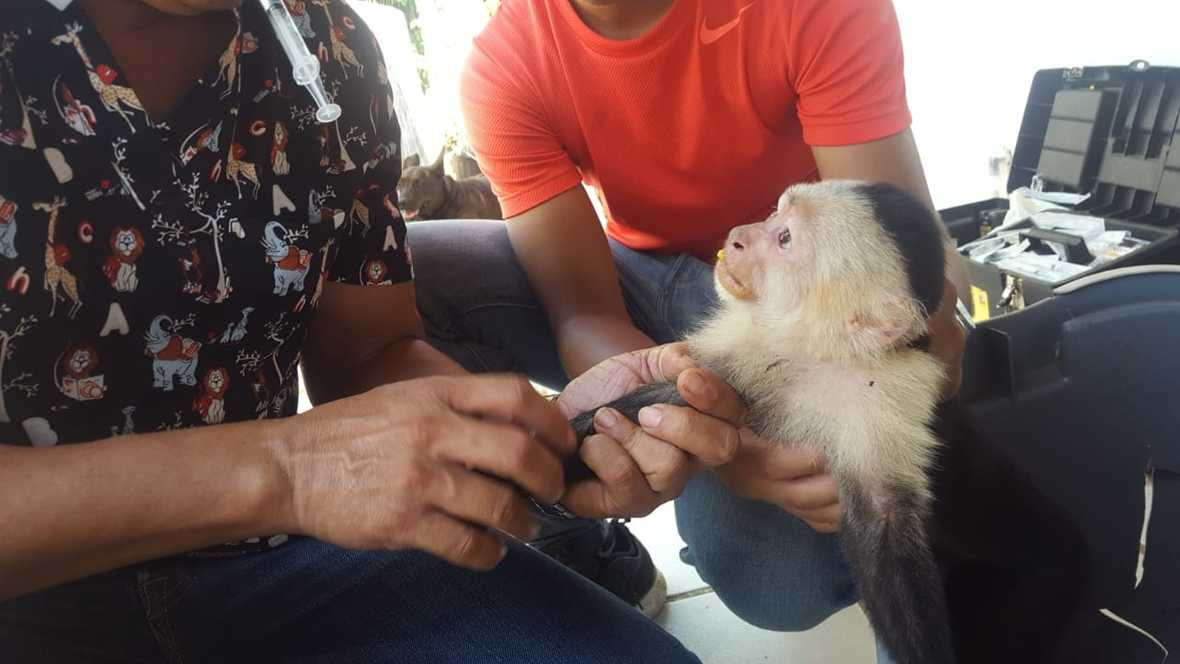 Young male capuchin behind held by worker while vet examines his arm