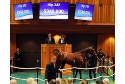 The Constitution colt consigned as Hip 342 in the ring during the New York-bred Sale
