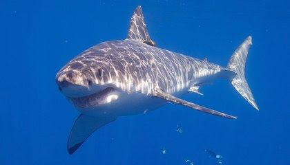 Great White Sharks Thrive Despite Heavy Metals Coursing Through Their Veins image
