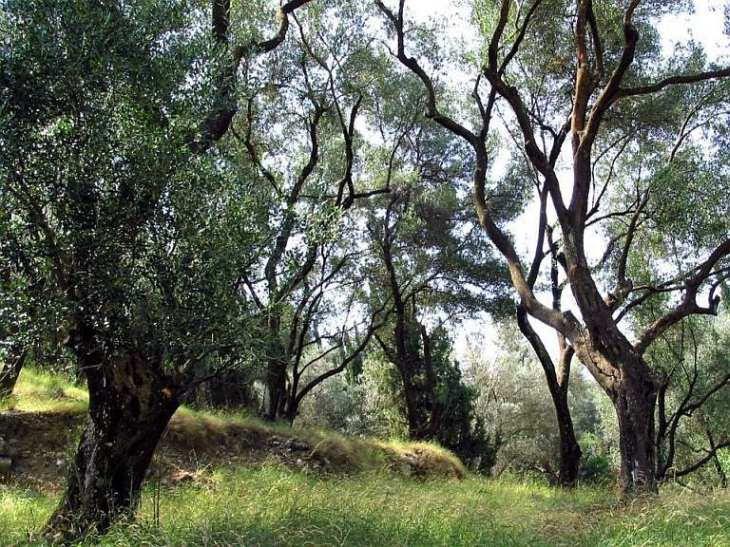 File:Olivenbaum Korfu.jpg