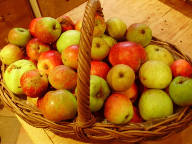 Basket of mid-September windfalls shows  the diversity of some of the over 60 varieties of apples just starting to ripen here