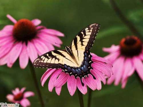 تصاویر زیبا و دیدنی از آفرینش خارق العاده پروانه ها-دنیای ریاضی